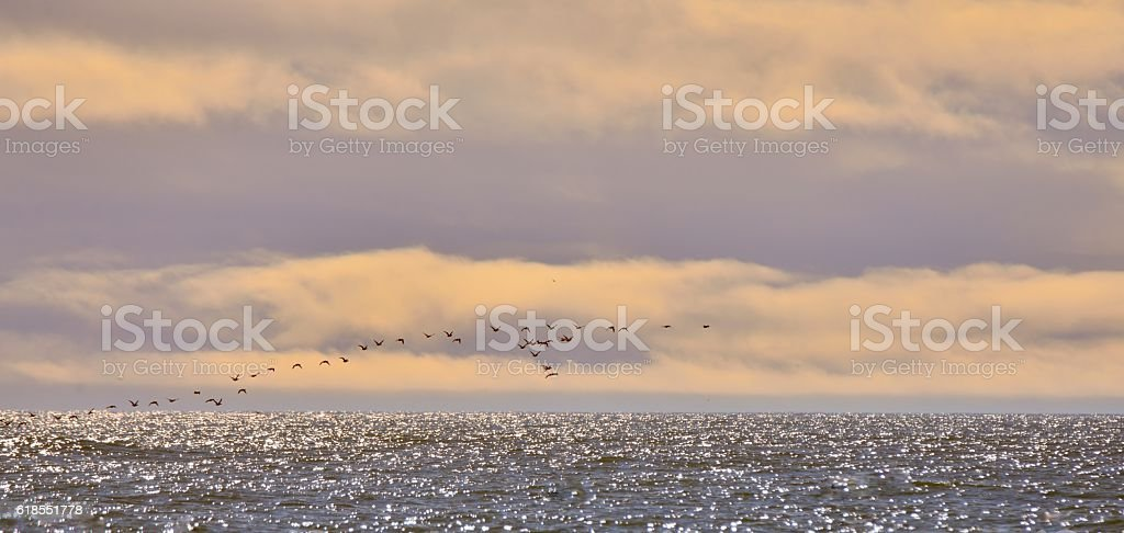 Brant Geese Flock at Sunrise stock photo