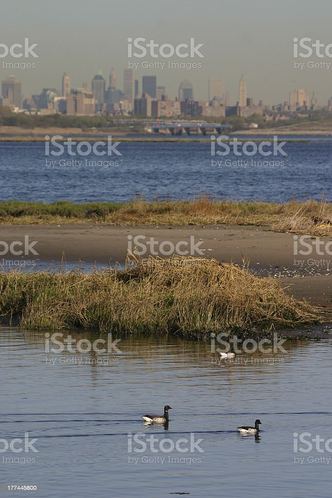 Brant geese in front of New York skyline stock photo