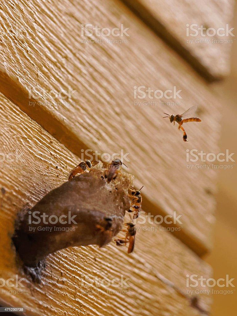 Brasilian stingless bees building their nest stock photo