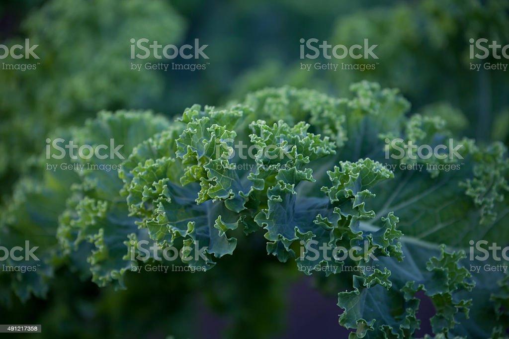 Brassica oleracea stock photo