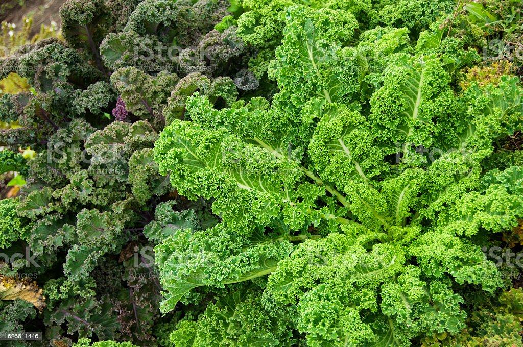 Brassica oleracea plants at gardenbed stock photo
