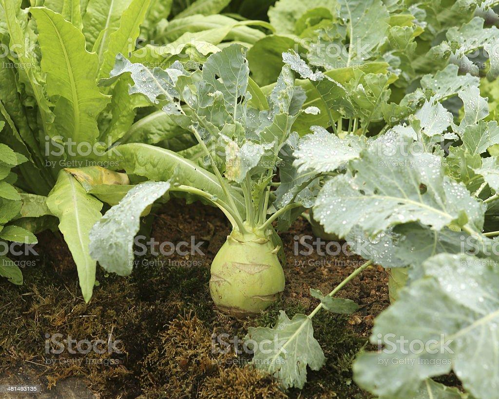 Brassica Oleracea var Gongylodes / Kohlrabi stock photo