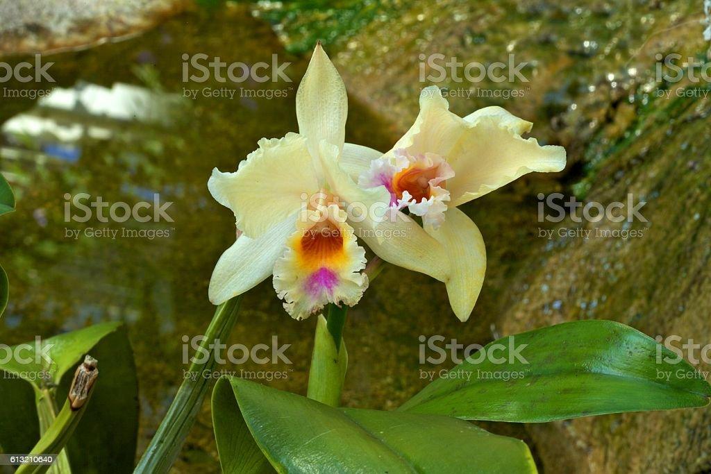 Brassolaeliocattleya 'Yellow Pride' Orchid stock photo