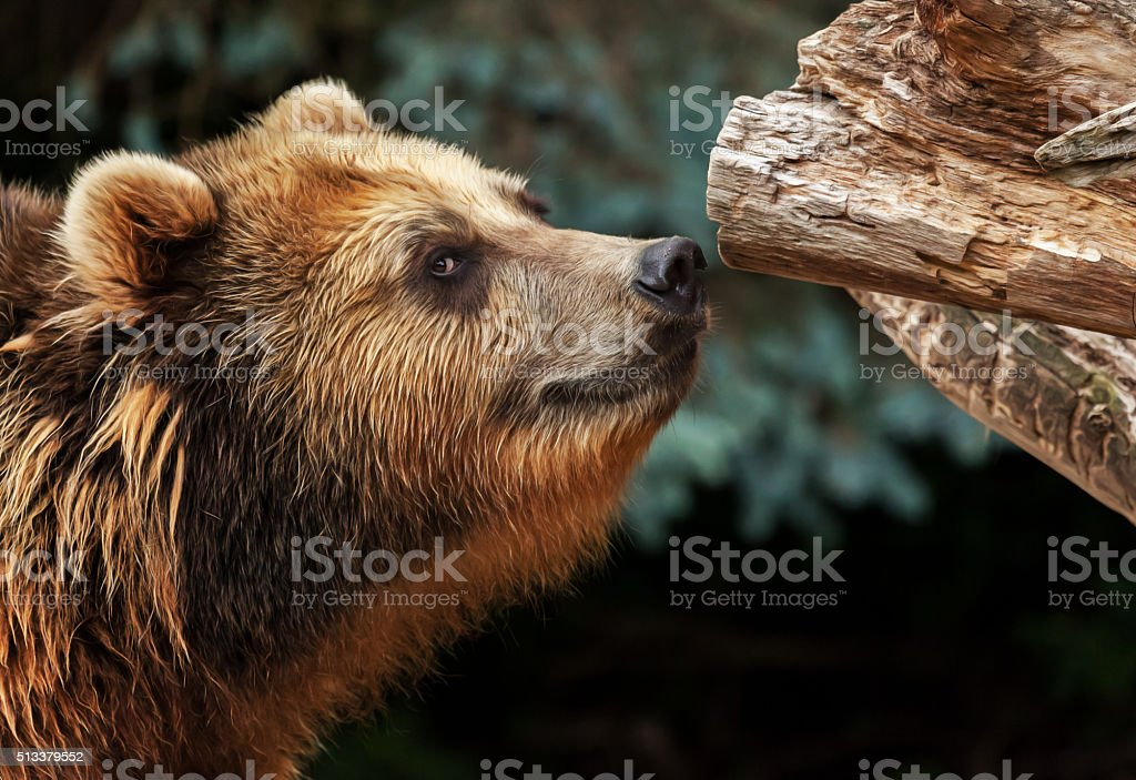 Braunbär schnüffelt stock photo