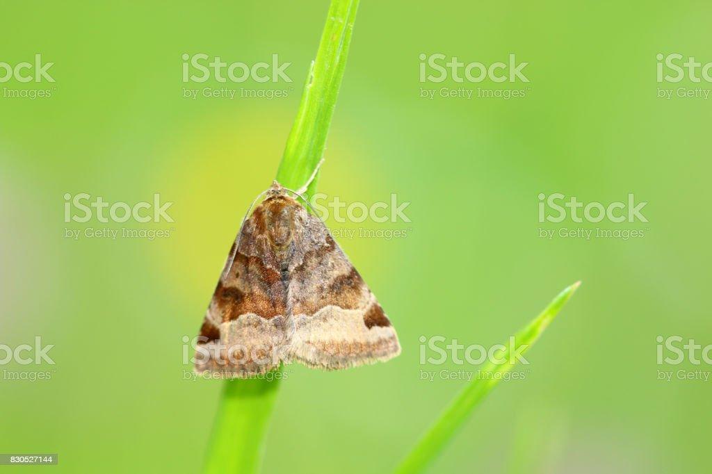Braune Tageule stock photo