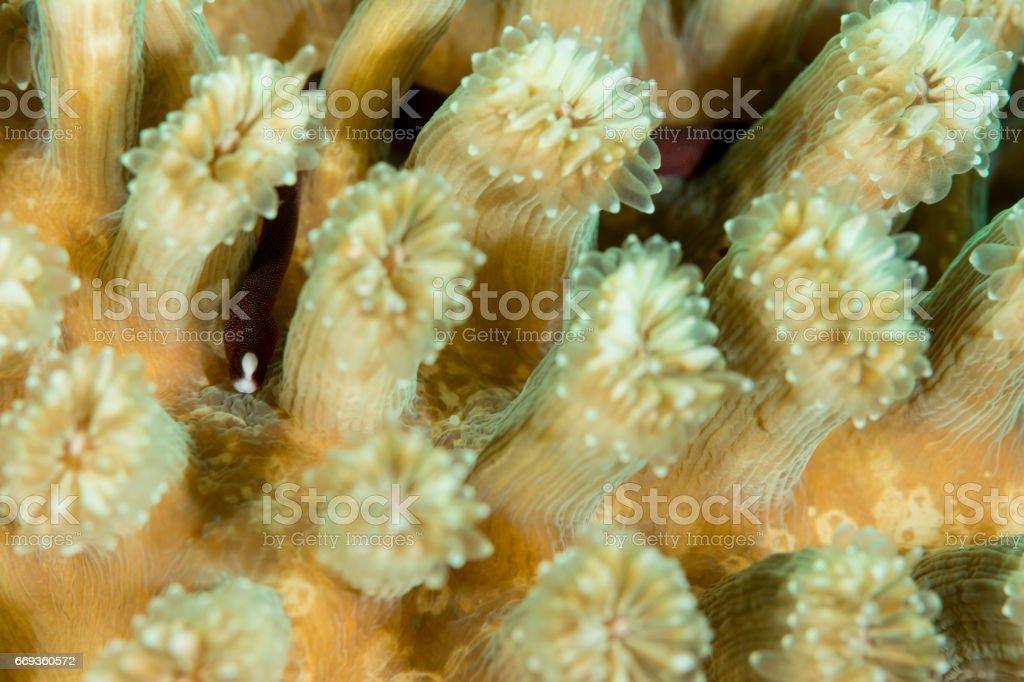Braun's Pughead Pipefish (Bulbonaricus brauni) stock photo