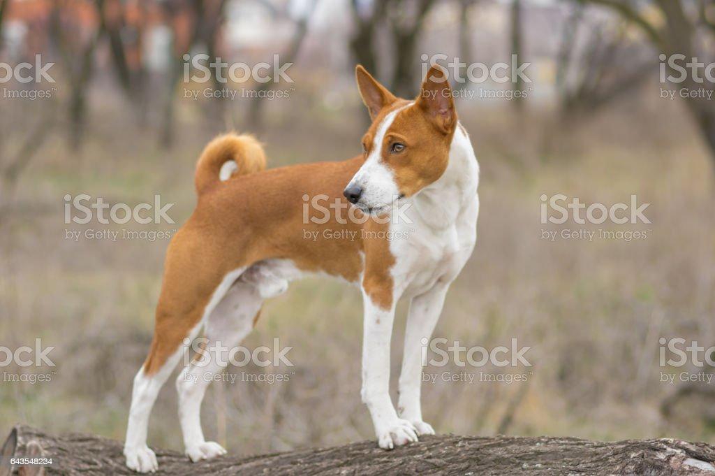 Brave Basenji dog standing on a tree branch stock photo
