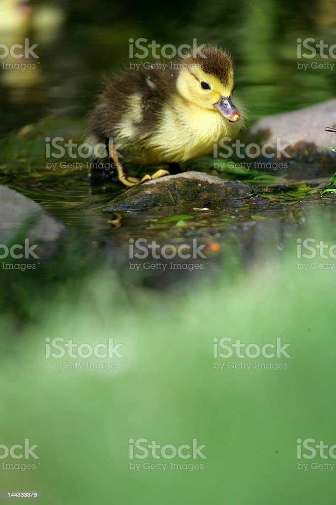Brave little duck royalty-free stock photo