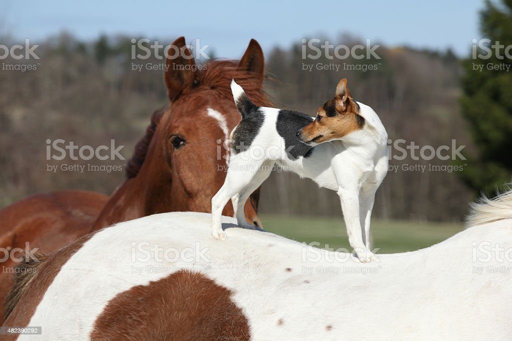 Brave Parson Russell terrier standing on horse back stock photo