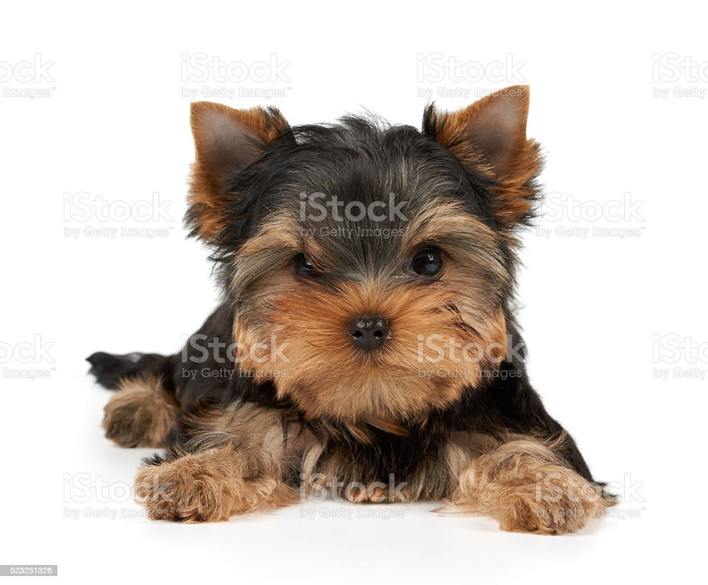 Brave puppy on white stock photo