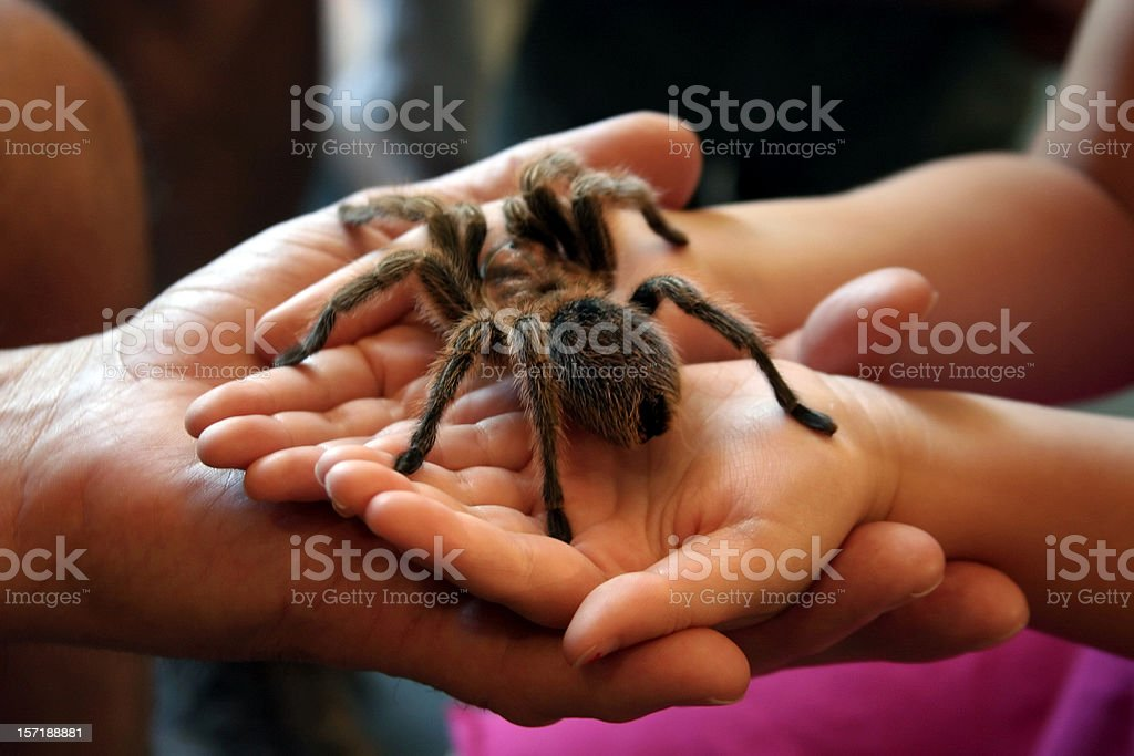 Bravery: Huge Hairy Spider in Child's Hands stock photo
