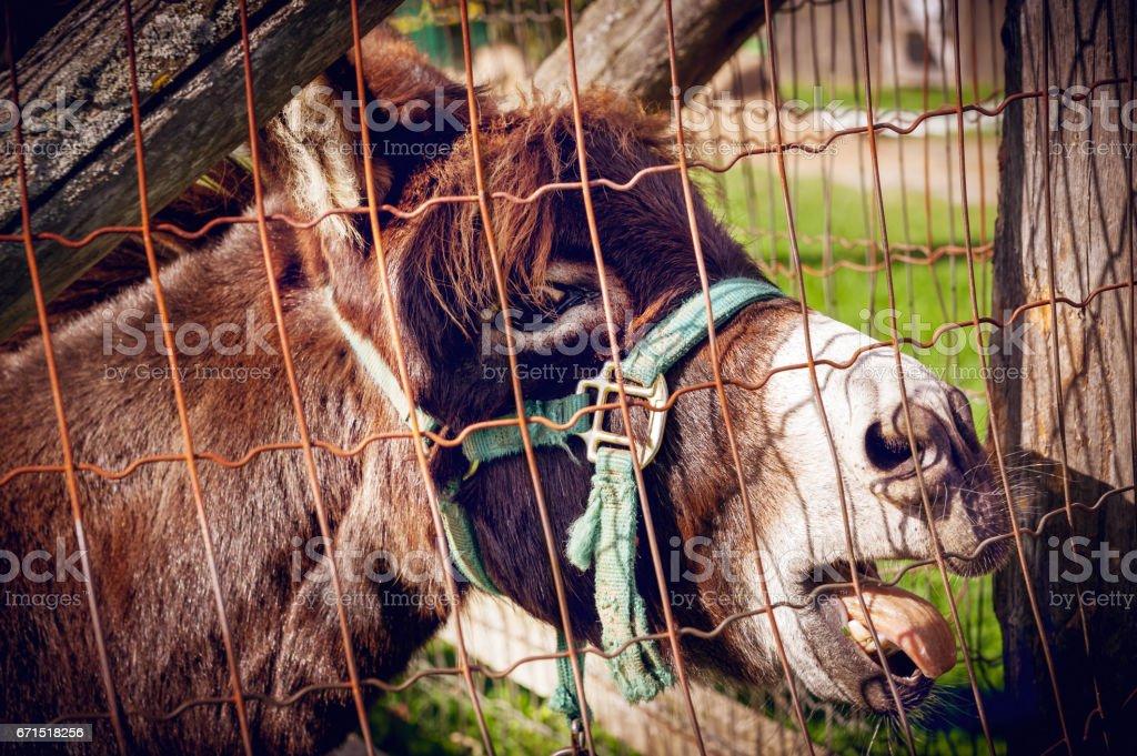 Braying Donkey stock photo