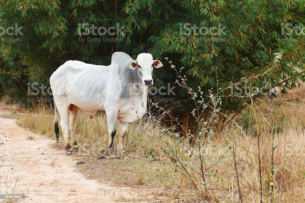 Brazilian beef cattle bull - nellore, white cow stock photo