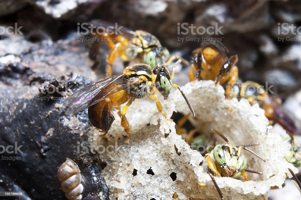 Brazilian Bees stock photo