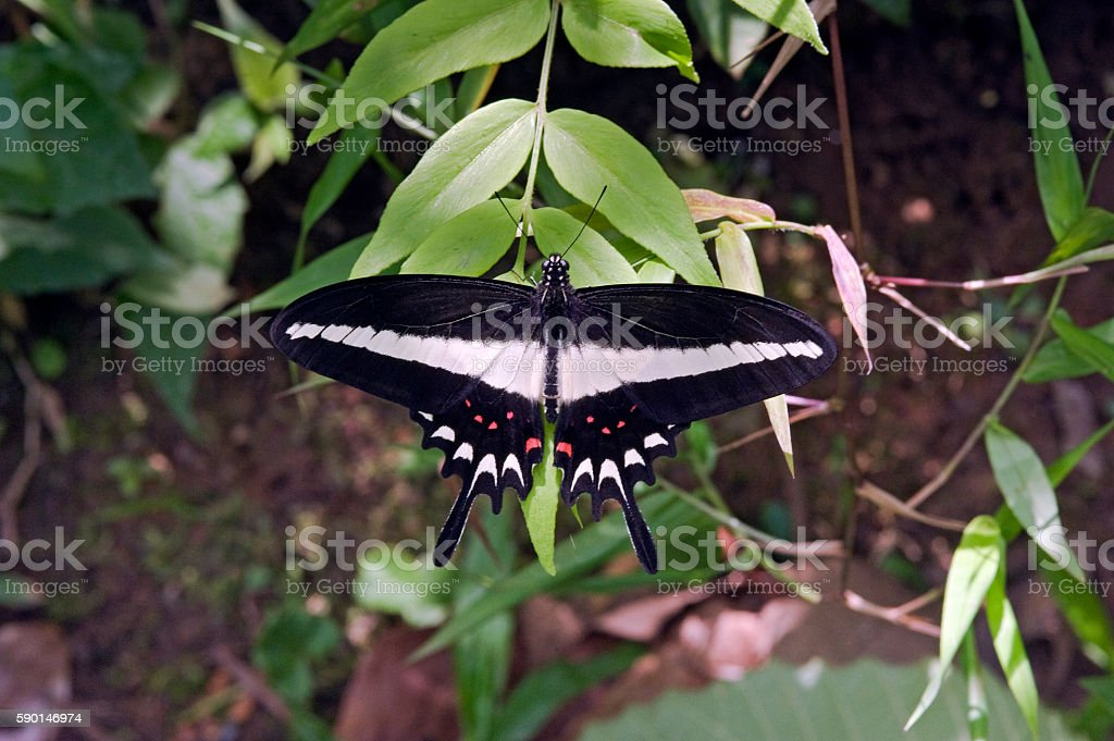Brazilian black and white butterfly sighted in the Atlantic  Rai stock photo