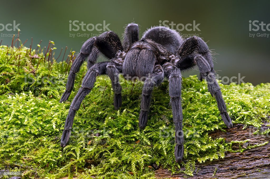 Brazilian Black Velvet Tarantula (Grammostola Pulchra) stock photo