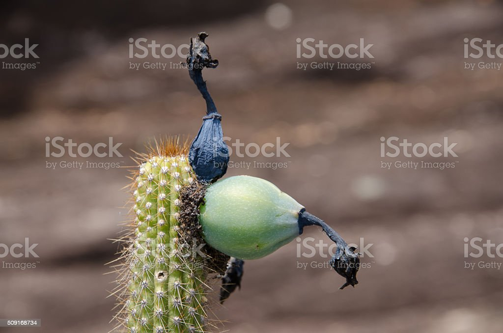 Brazilian Cactus stock photo