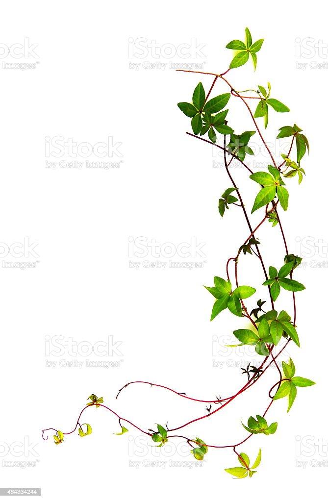 Brazilian climbing plant. Copy Space stock photo
