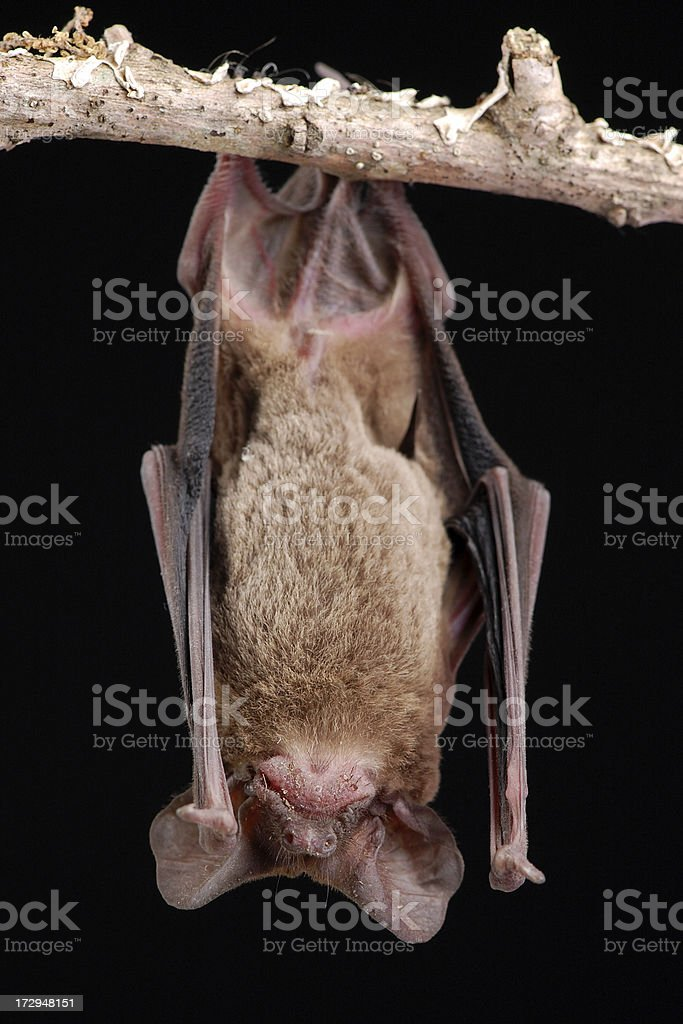 Brazilian Free-tail Bat Hanging - Full Front View royalty-free stock photo