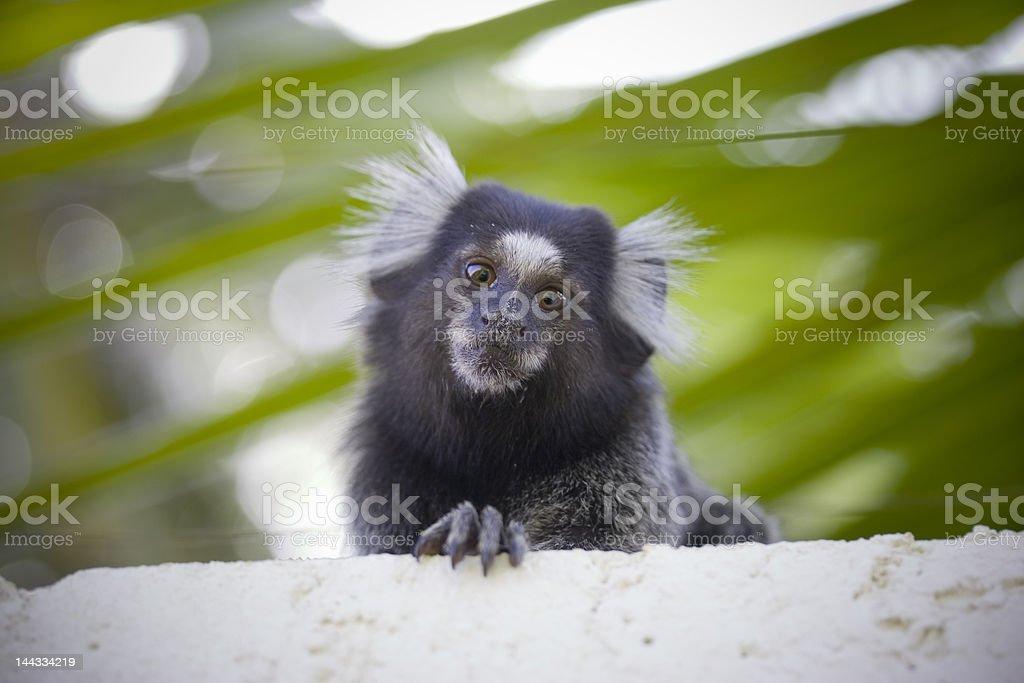 Brazilian marmoset monkey on tree branch stock photo