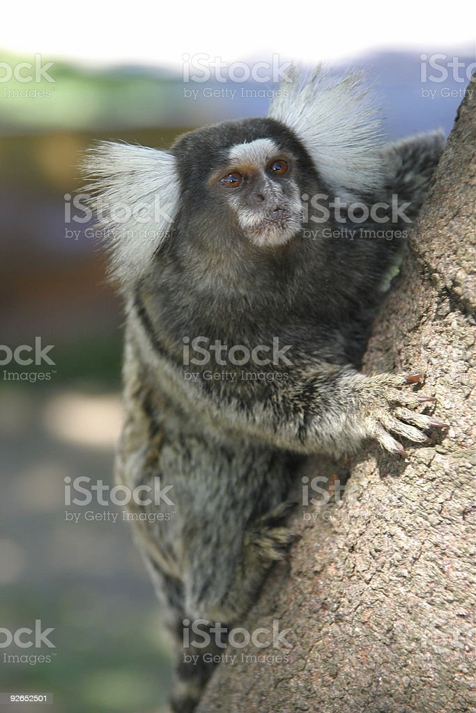 Brazilian Monkey stock photo