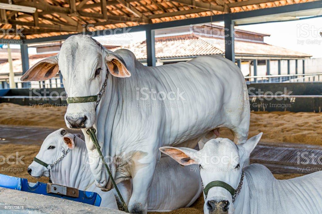 Brazilian Nelore elite cattle in a exposition park stock photo