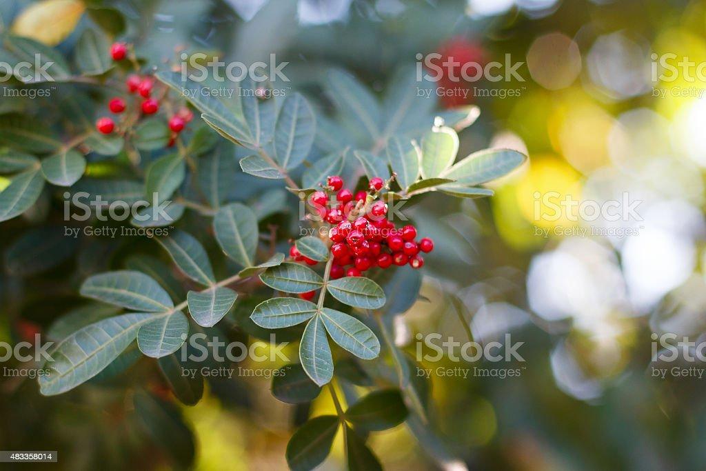 Brazilian pepper, aroeira, rose pepper, Christmasberry tree stock photo