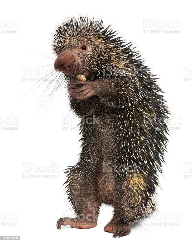 Brazilian Porcupine, Coendou prehensilis, eating peanut, white background stock photo