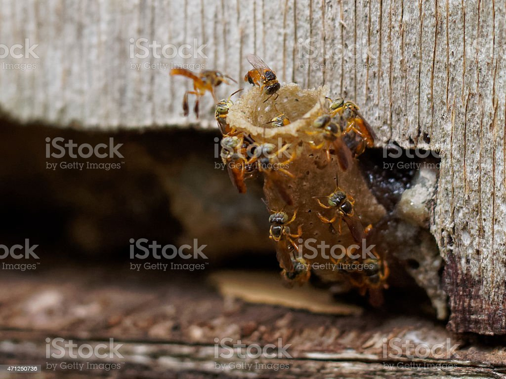Brazilian stingless bees building their nest stock photo