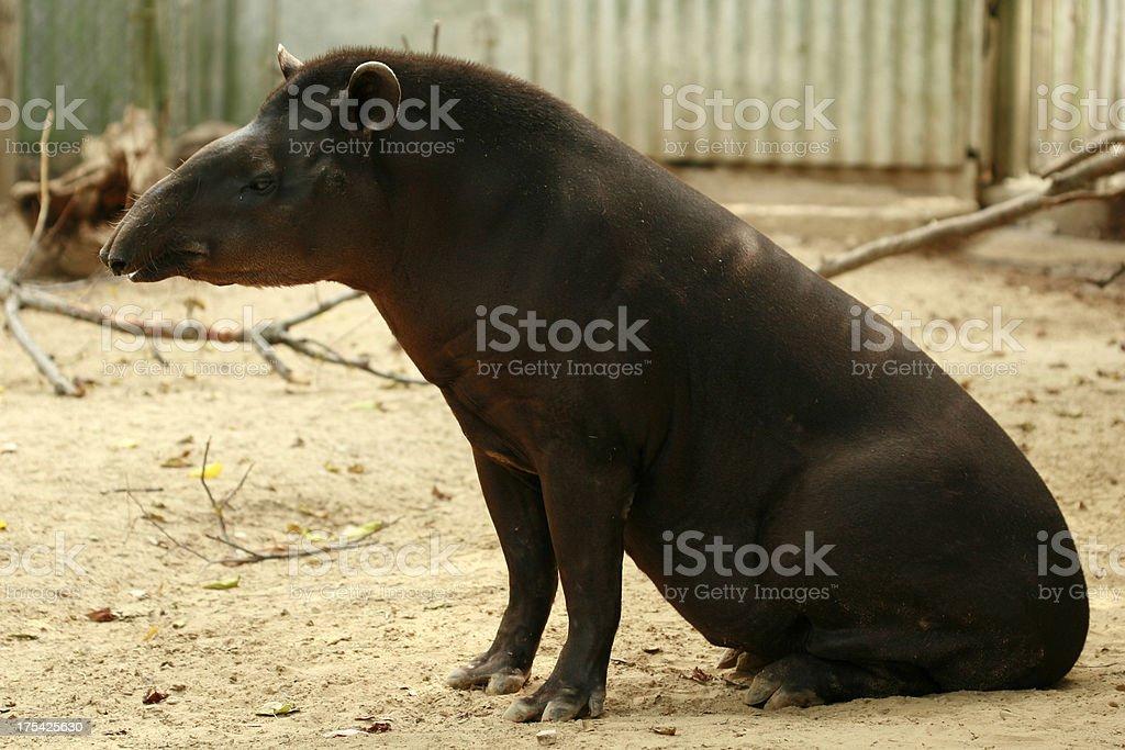 Brazilian tapir languishes at zoo stock photo