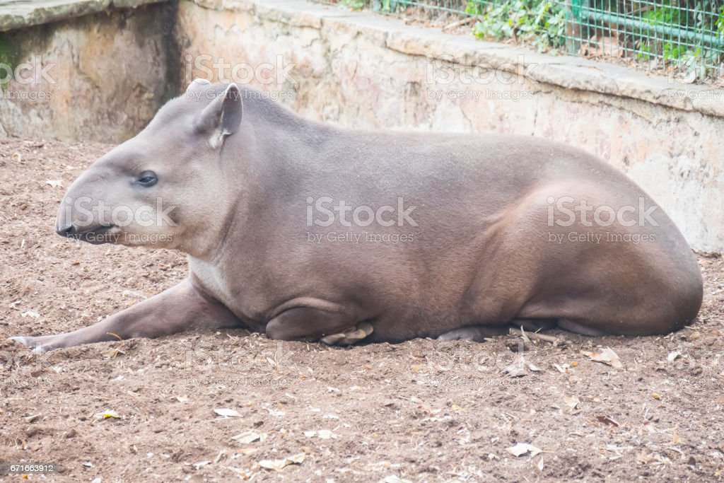 Brazillian tapir resting lying on the ground, Tapirus terrestris stock photo