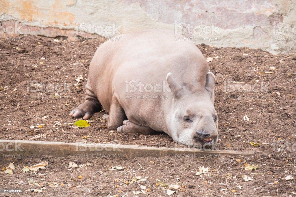 Brazillian tapir sleeping lying on the ground, Tapirus terrestris stock photo