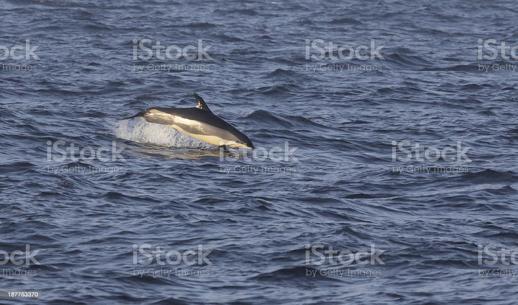 Breaching Atlantic White-sided Dolphin stock photo