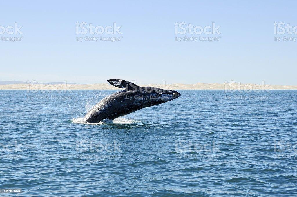 Breaching gray whale at Guerrero Negro, Mexico royalty-free stock photo