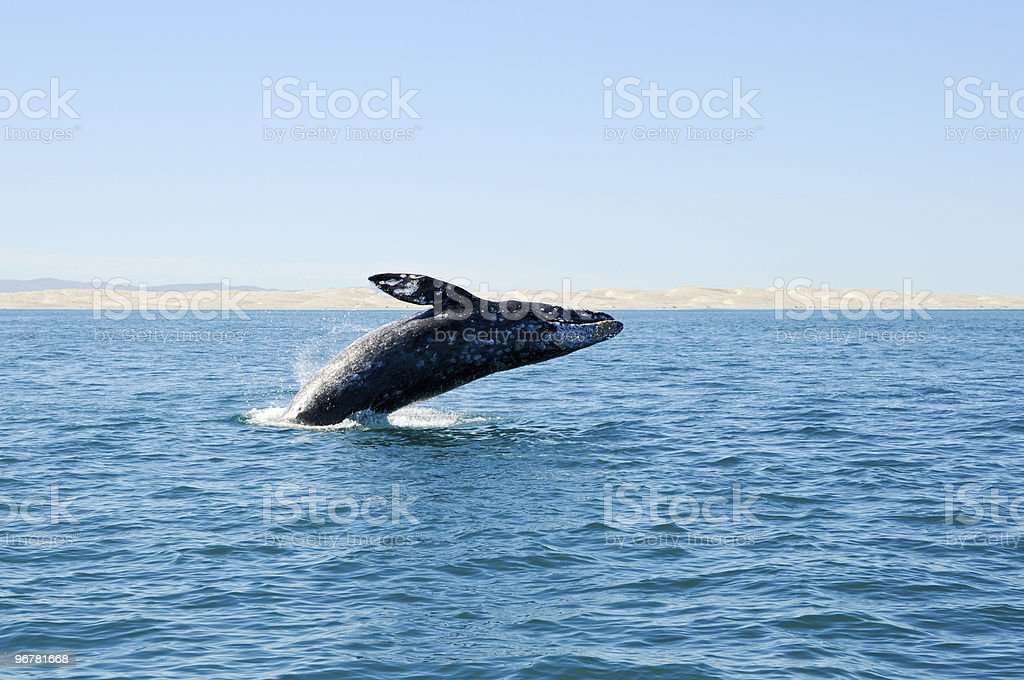 Breaching gray whale at Guerrero Negro, Mexico stock photo