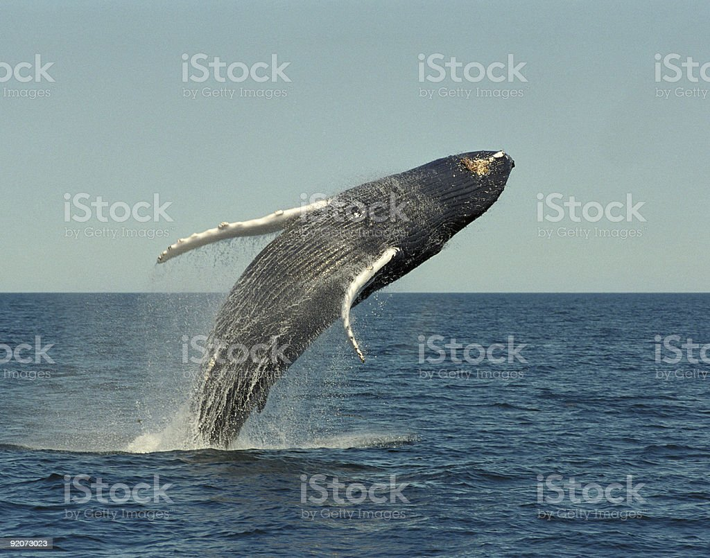 Breaching Hump Back Whale stock photo