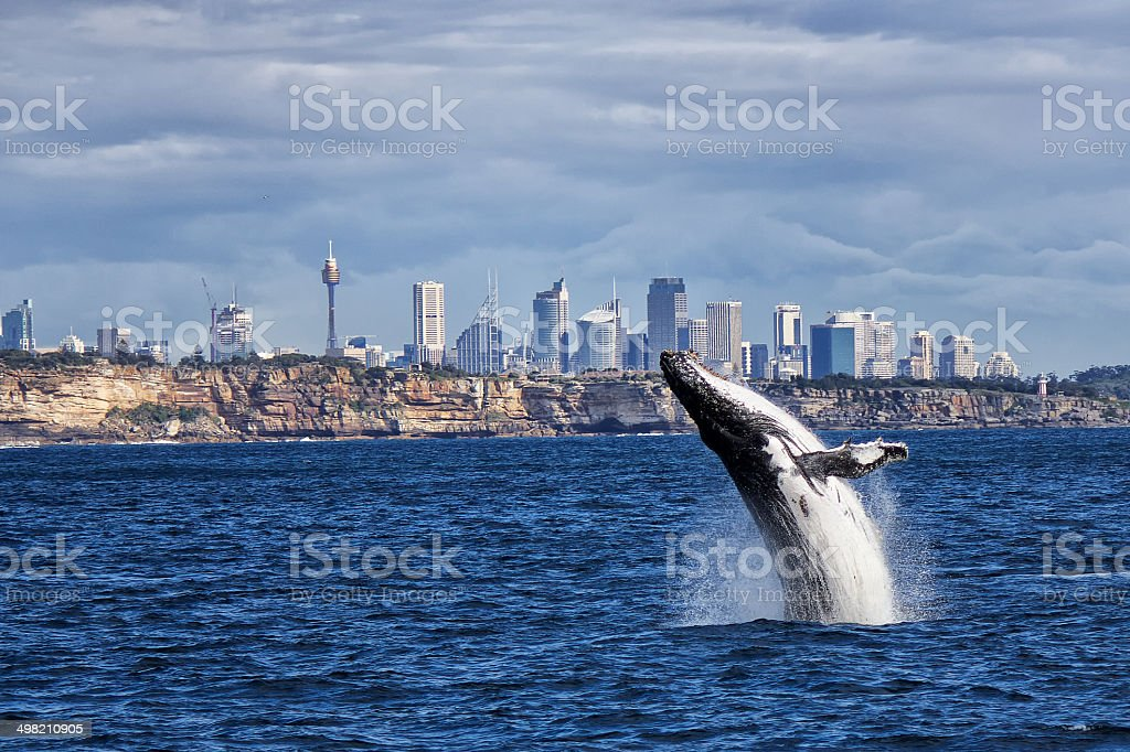 Breaching Humpback Whale and Sydney skyline stock photo