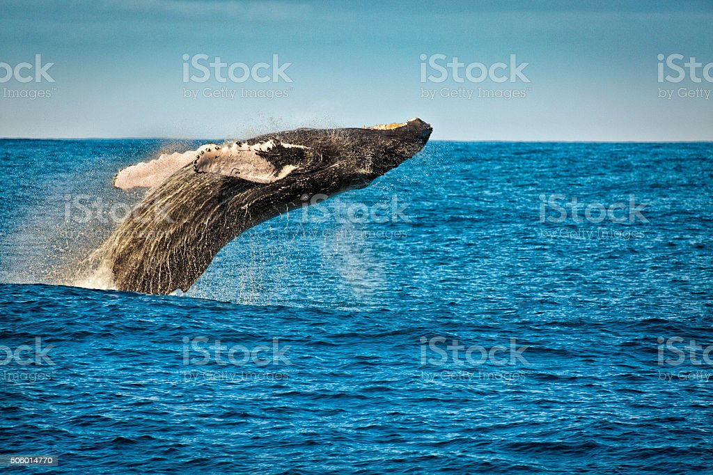 Breaching Humpback Whale in Kauai Hawaii stock photo