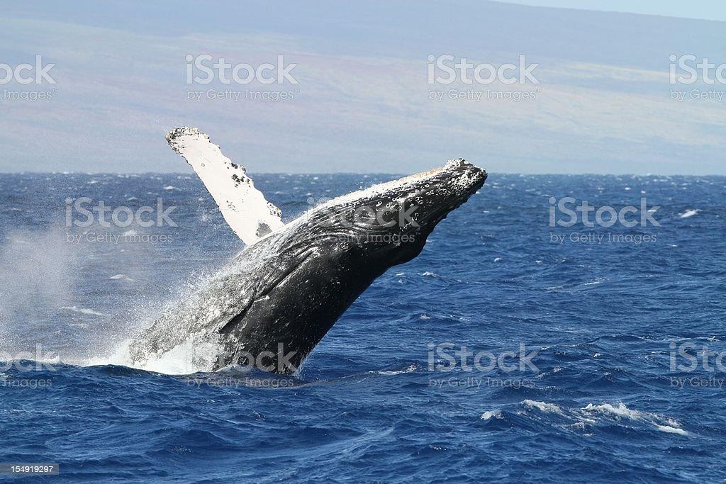 Breaching Humpback Whale off the Maui coast stock photo
