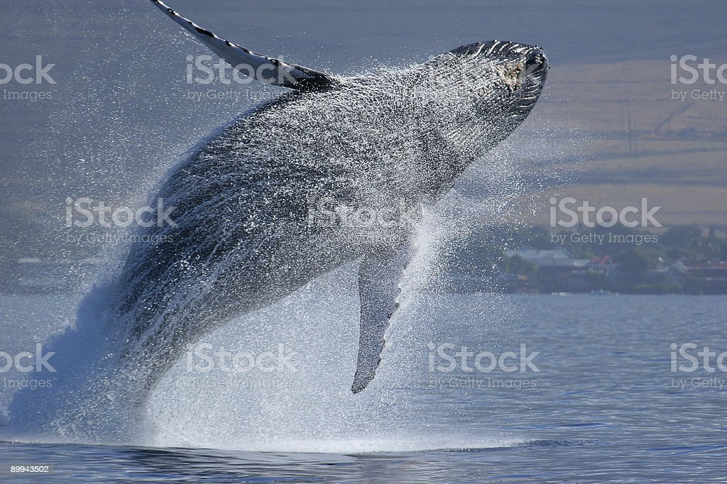 Breaching Humpback Whale royalty-free stock photo