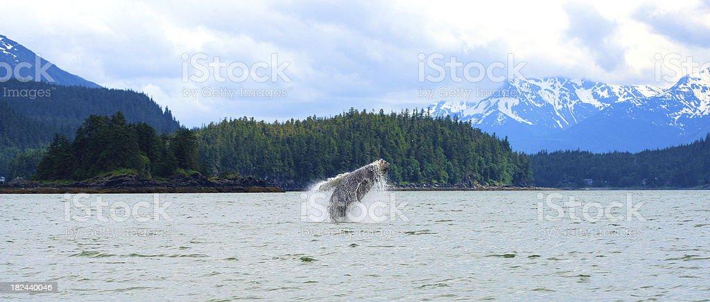 Balena Balzare fuori dall'acqua foto stock royalty-free