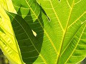 Breadfruit Tree Texture Leaf