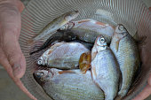 Bream Danube