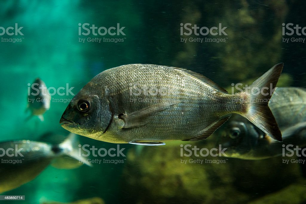 Bream fish - Sargo stock photo
