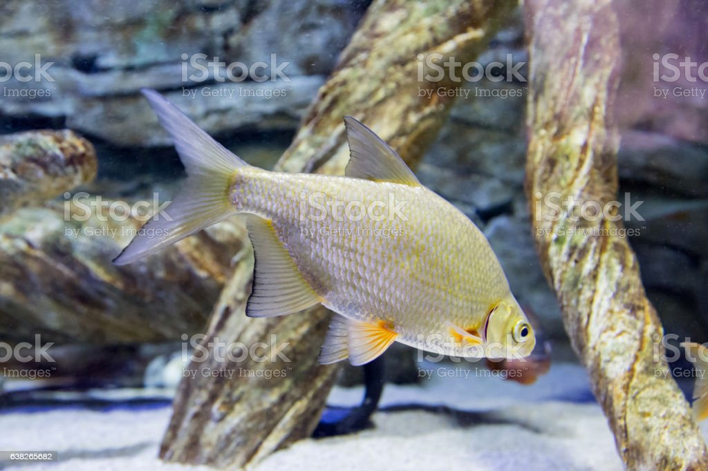 Bream in an aquarium stock photo