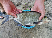 bream in hands, caught fish, nice catch