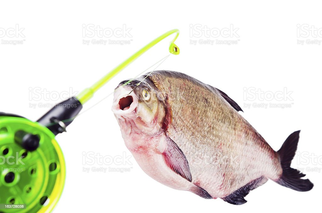 Bream on the hook is isolated royalty-free stock photo
