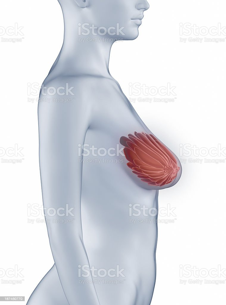 Breast position anatomy woman isolated royalty-free stock photo