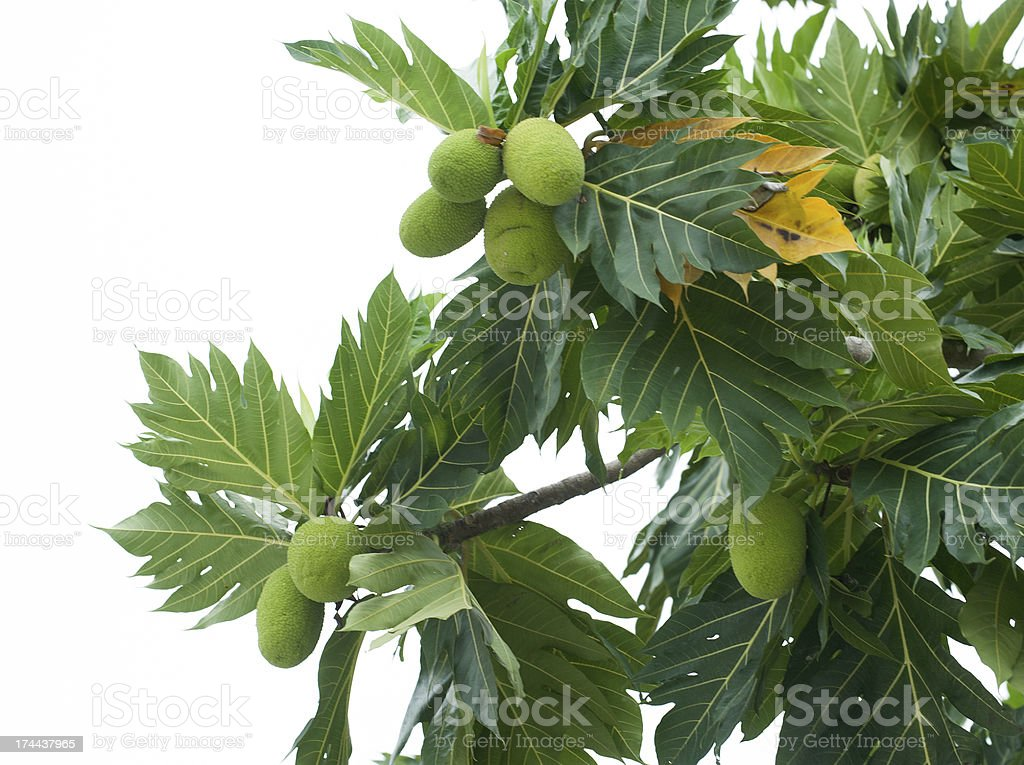 Breastfruits royalty-free stock photo