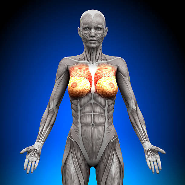 Female Muscle Diagram Backgrounds Pictures Images And Stock Photos